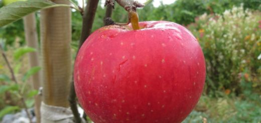 erntereifer Apfel (Elstar)