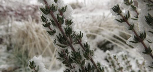 Thymian im Winterkleid